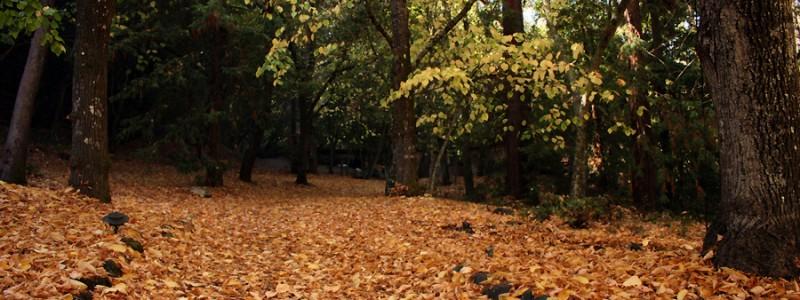 Montalvo Leaves